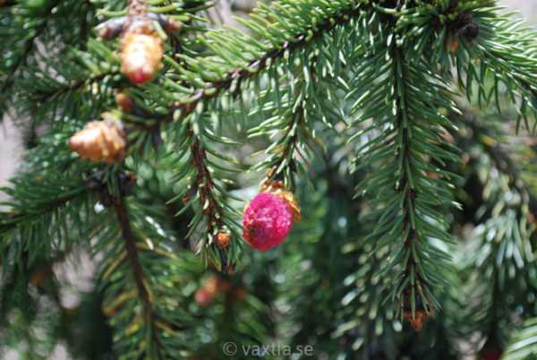 Picea abies 'Acrocona'-735