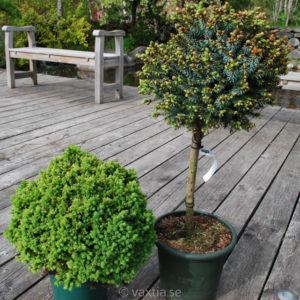 Picea glauca 'Alberta Globe'-0