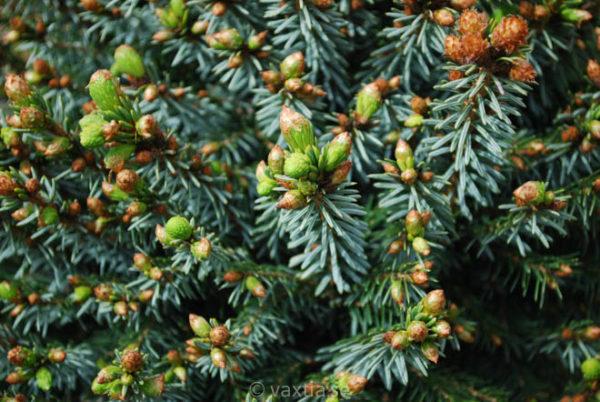 Picea glauca 'Alberta Globe'-738