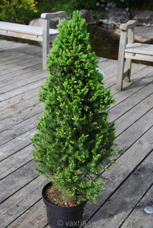 Picea glauca 'Conica'-0