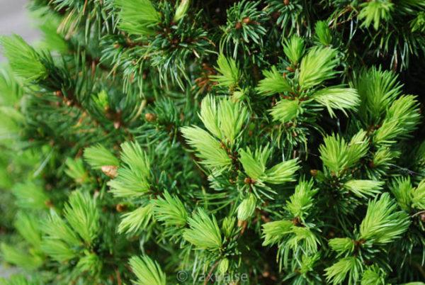 Picea glauca 'Conica'-740
