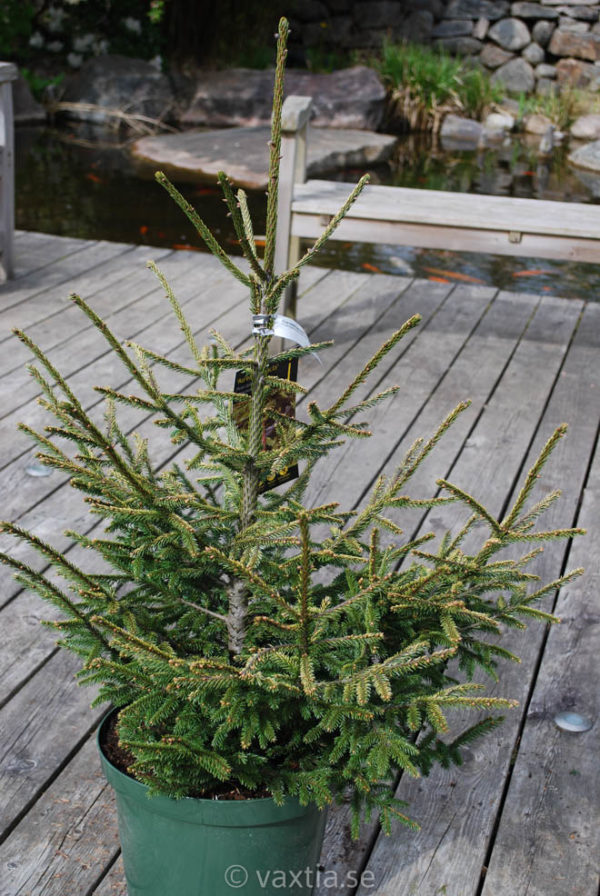 Picea orientalis 'Aurea Compacta'-0