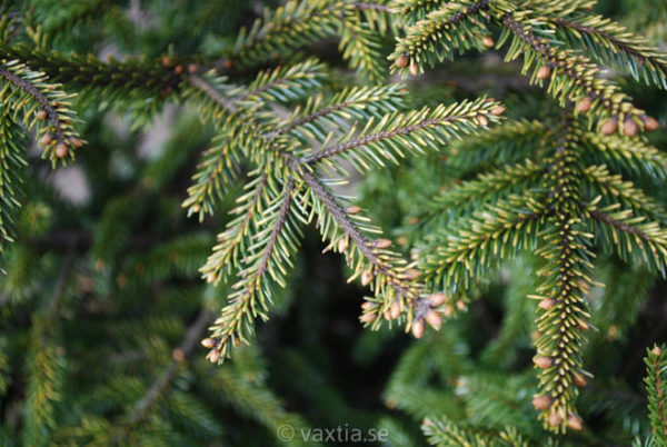 Picea orientalis 'Aurea Compacta'-745