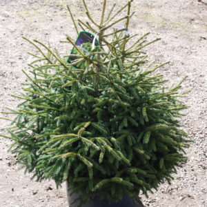Picea orientalis 'Golden Start'-0
