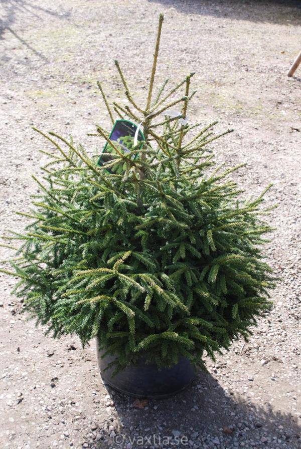 Picea orientalis 'Golden Start'-0