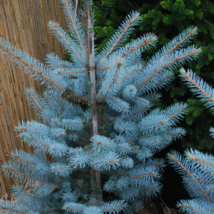 Picea pungens 'Edith'-0