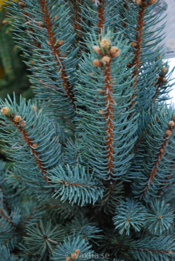Picea pungens 'Iseli Fastigiate'-0