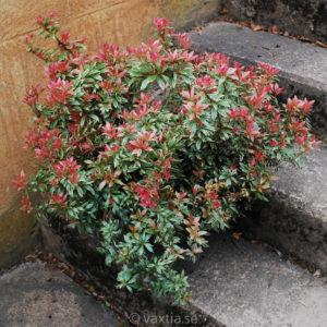 Pieris japonica 'Little Heath'-0