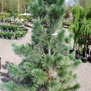 Pinus flexilis 'Vanderwolf's Pyramid'-0