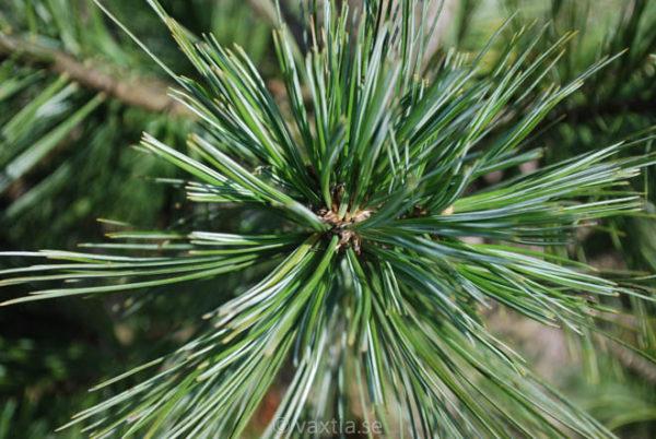 Pinus flexilis 'Vanderwolf's Pyramid'-914