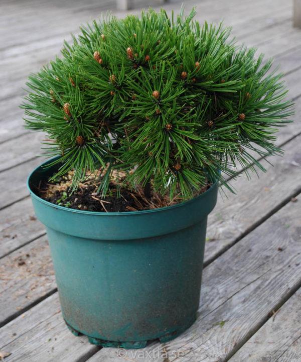Pinus heldreichii 'Schmidtii'-750