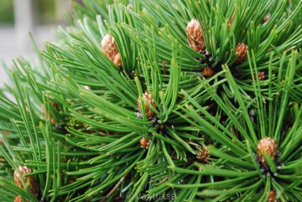 Pinus heldreichii 'Schmidtii'-749