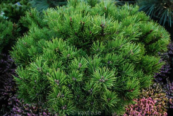 Pinus mugo 'Klostergrün'-0