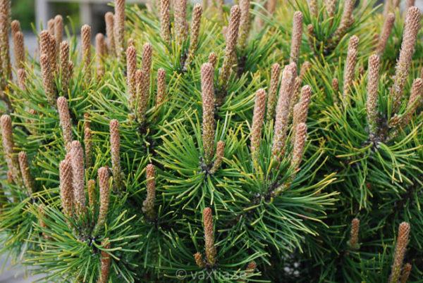 Pinus mugo 'Ophir'-754