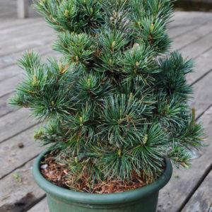 Pinus parviflora 'Negishi'-0