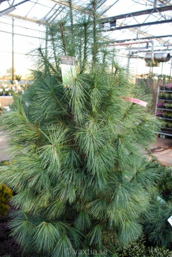 Pinus strobus 'Blue Shag'-100