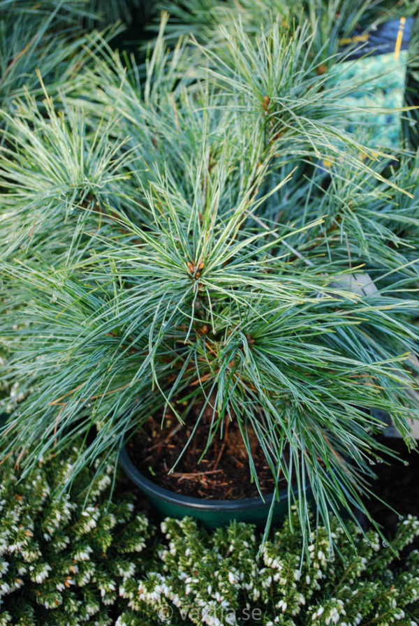 Pinus strobus 'Blue Shag'-0