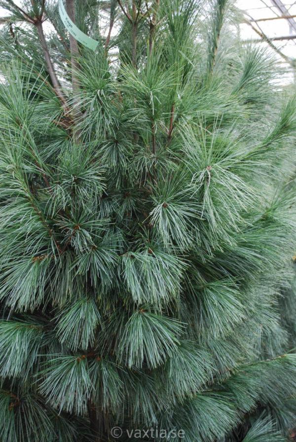 Pinus wallichiana 'Densa Hill'-102