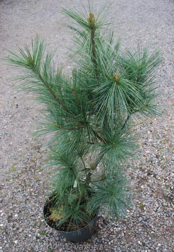 Pinus wallichiana 'Densa Hill'-0