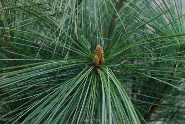 Pinus wallichiana 'Densa Hill'-781