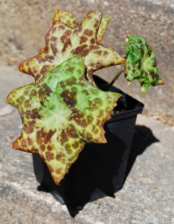 Podophyllum (Dysosma) 'Spotty Dotty'-0
