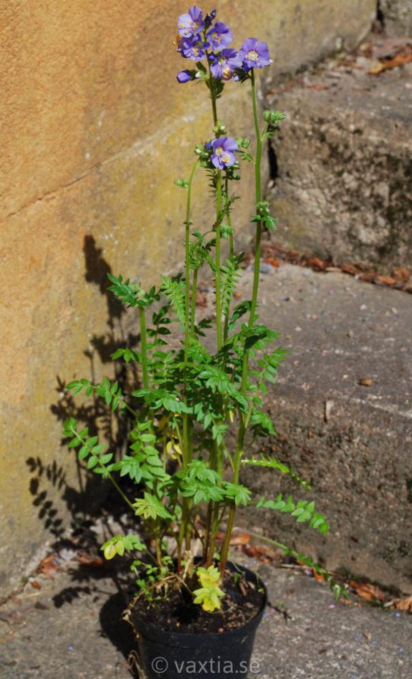 Polemonium caeruleum 'Azuro'-1480