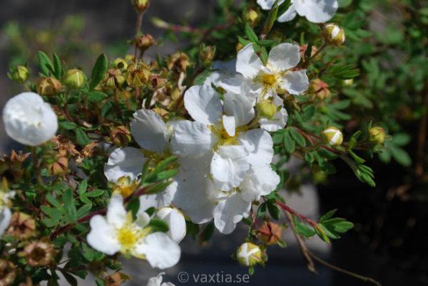 Potentilla fruticosa 'Abbotswood'-0