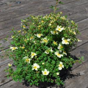Potentilla fruticosa 'Limelight'-0