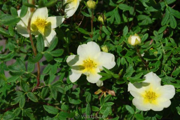 Potentilla fruticosa 'Limelight'-968
