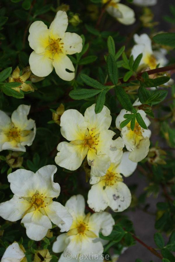 Potentilla fruticosa 'Limelight'-971