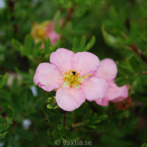 Potentilla fruticosa 'Pink Beauty' (Lovely Pink)-0