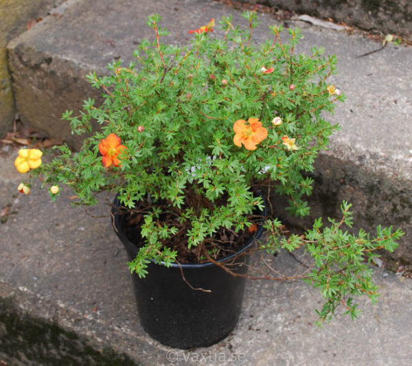 Potentilla fruticosa 'Red Ace'-0