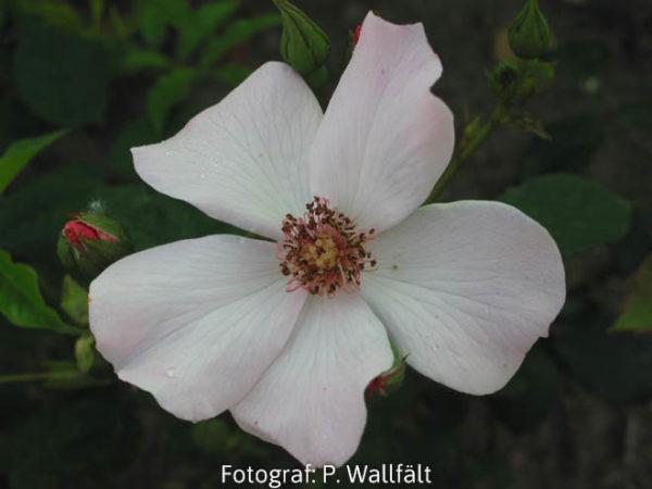 'Poulsen´s Pearl' (Floribunda)-0