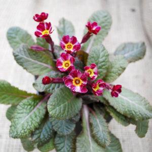 Primula elatior (polyantha) 'Dark Rosalee'-0