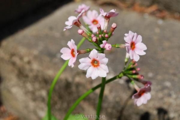 Primula japonica 'Appleblossom'-0