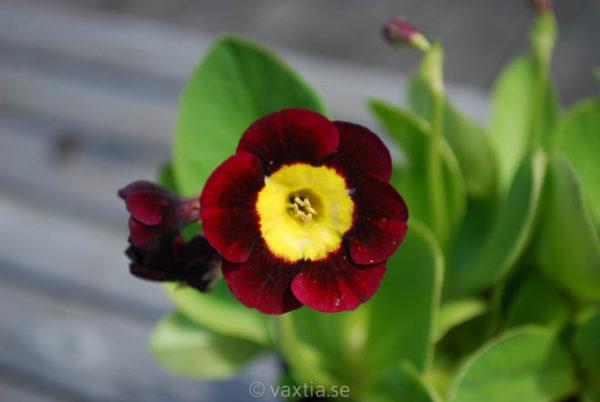 Primula pubescens 'Louis'-0