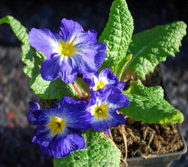 Primula vulgaris 'Tie Dye'-0