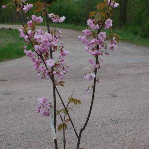 Prunus 'Kanzan' -0