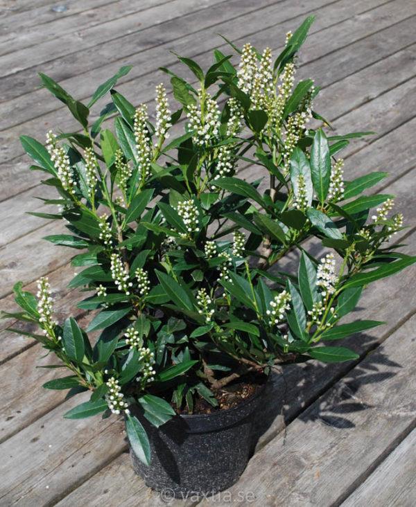 Prunus laurocerasus 'Otto Luyken'-0