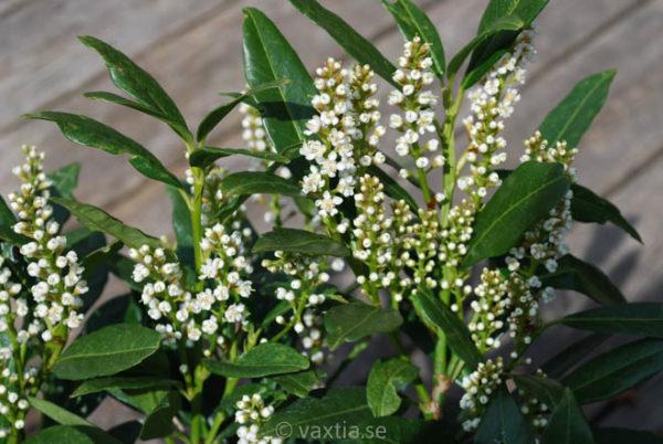 Prunus laurocerasus 'Otto Luyken'-857