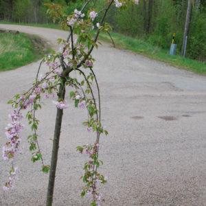 Prunus serrulata 'Kiku-shidare-zakura' -0