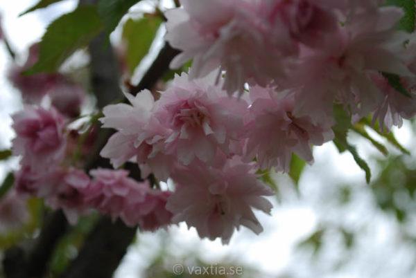 Prunus serrulata 'Kiku-shidare-zakura' -948