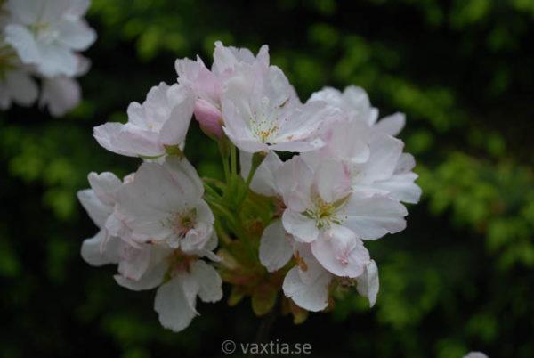 Prunus serrulata 'Amanogawa' -947