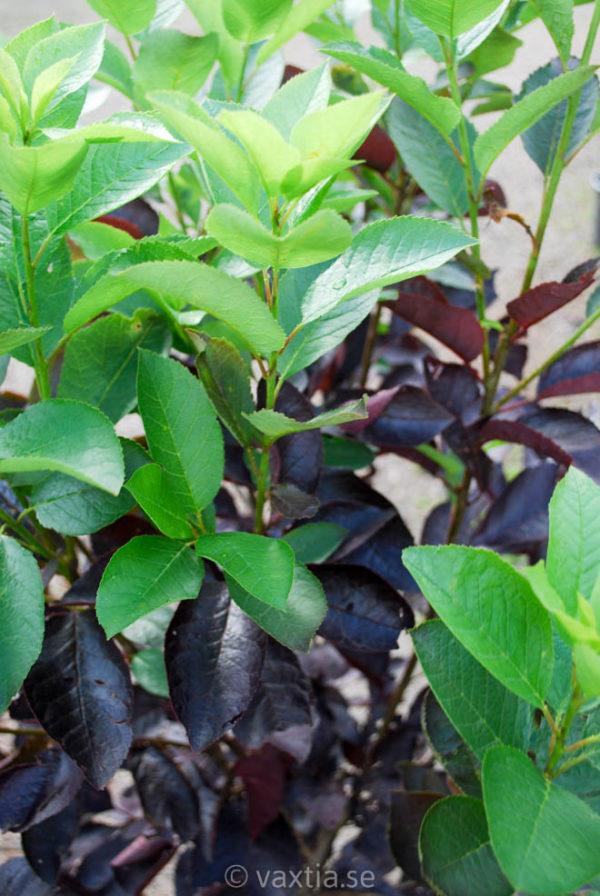 Prunus virginiana 'Shubert'-0