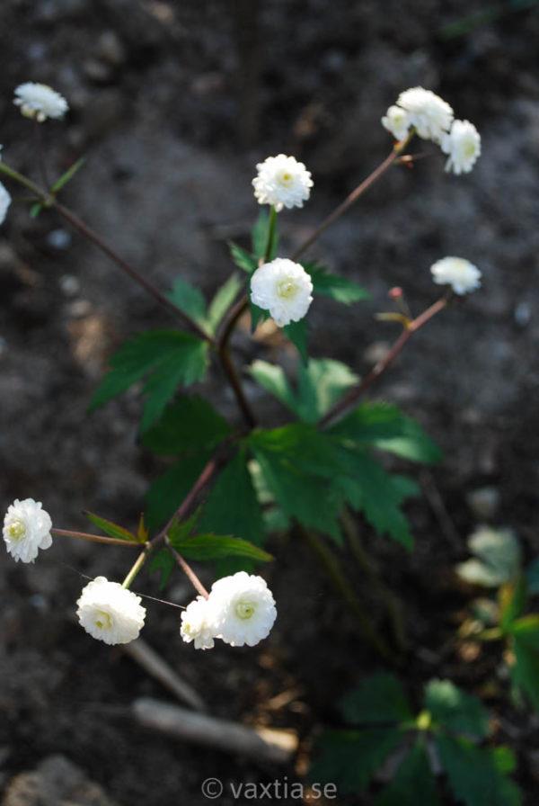 Ranunculus aconitifolius 'Flore Pleno'-431