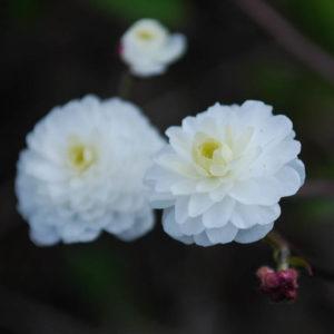 Ranunculus aconitifolius 'Flore Pleno'-0