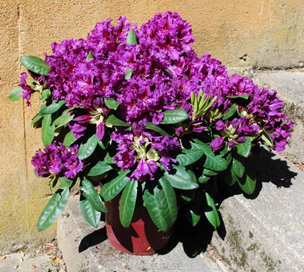 Rhododendron 'Azurro' -1209