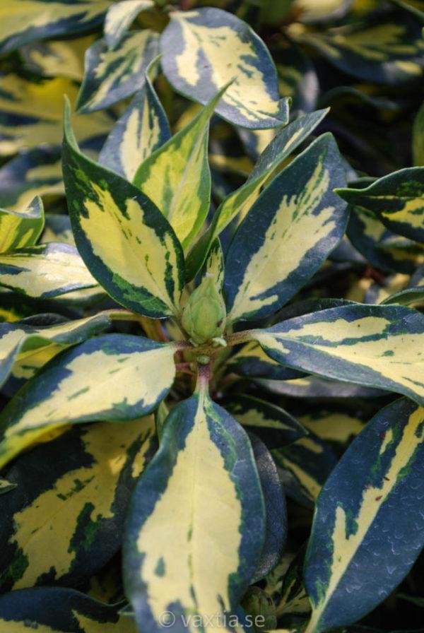 Rhododendron 'Blattgold' -176