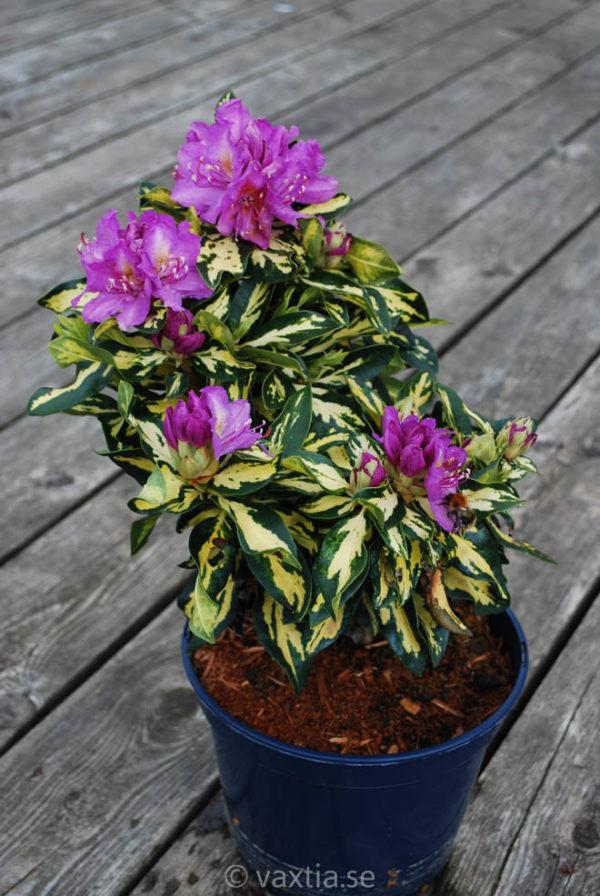 Rhododendron 'Blattgold' -1388