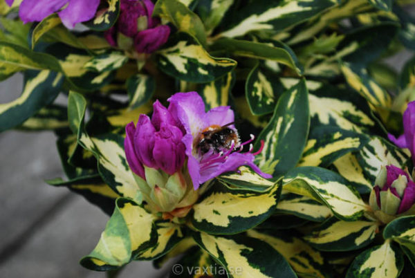 Rhododendron 'Blattgold' -1389